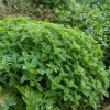 Origanum vulgare (oregano) young plant in the rock garden, late spring (early summer) season